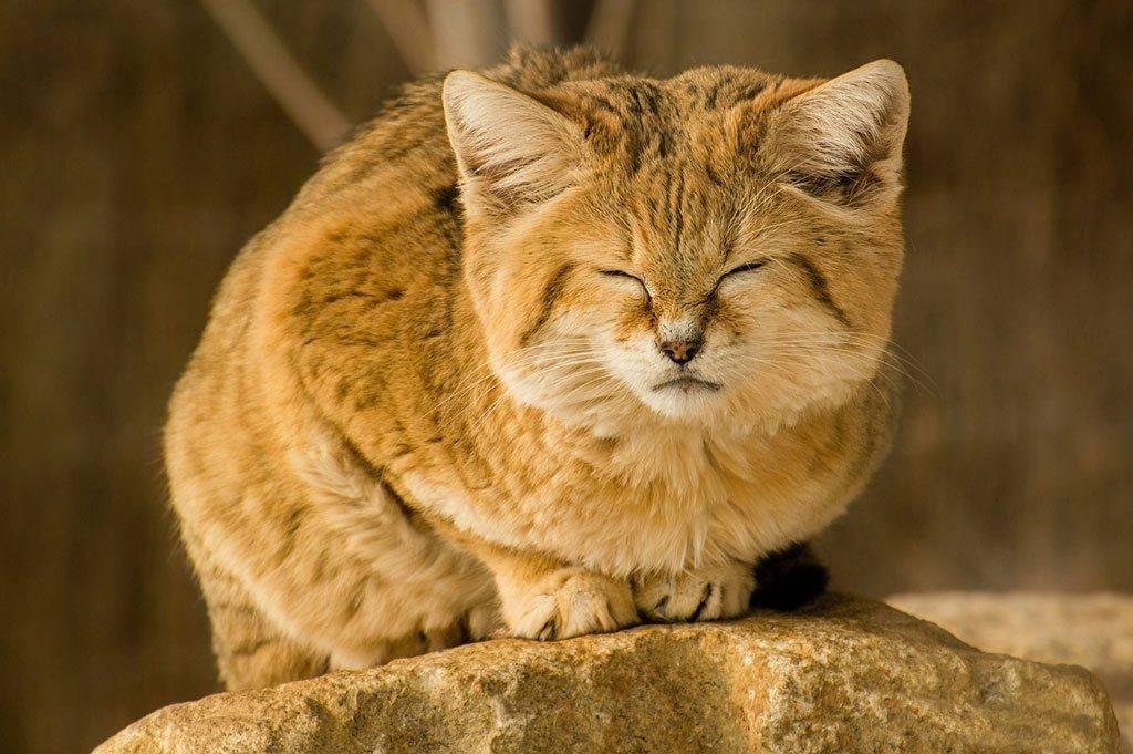 Подробное описание и образ жизни дикого барханного кота