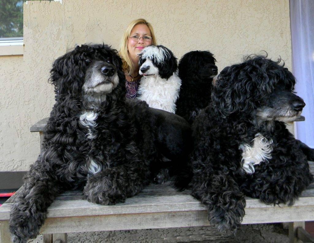 Португальская водяная собака (као де аква): фото, купить, видео, цена, содержание дома