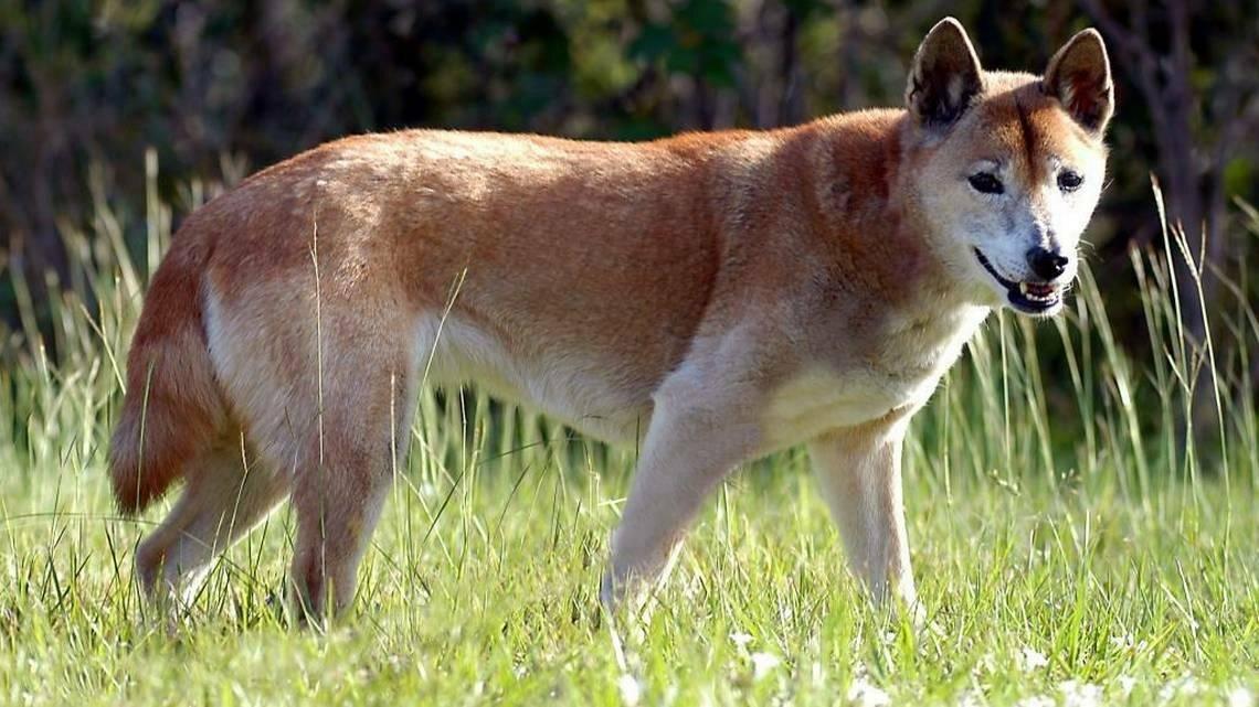 Новогвинейская поющая собака википедия