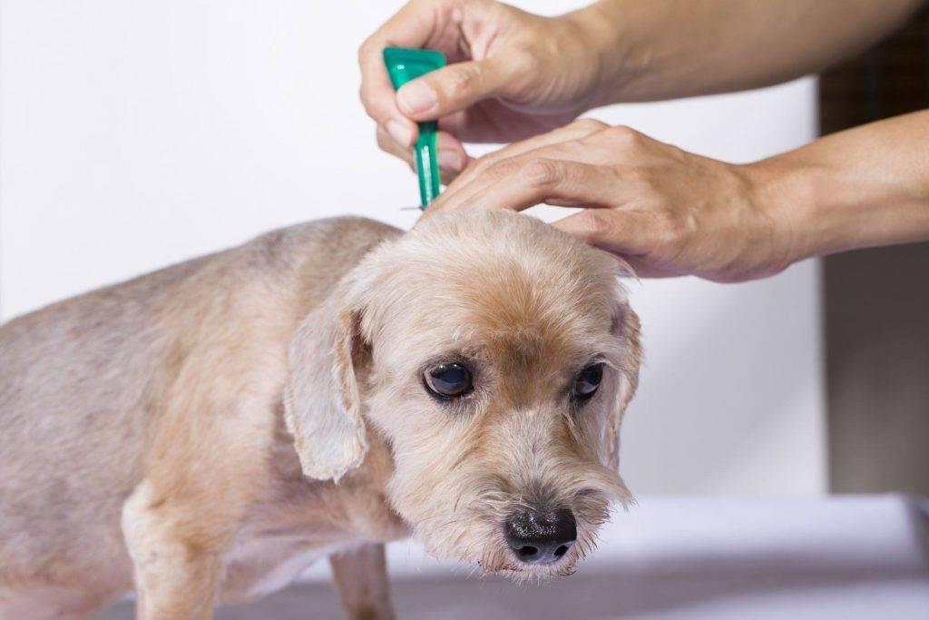 Пироплазмоз у собак
