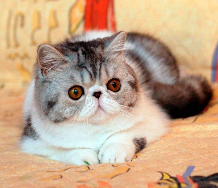Как выглядит, каким характером обладает и как ухаживать за экзотической породой кошек?