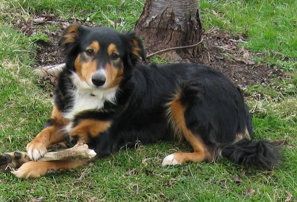 Восточно-европейская овчарка собака. описание, особенности, уход и цена породы   sobakagav.ru