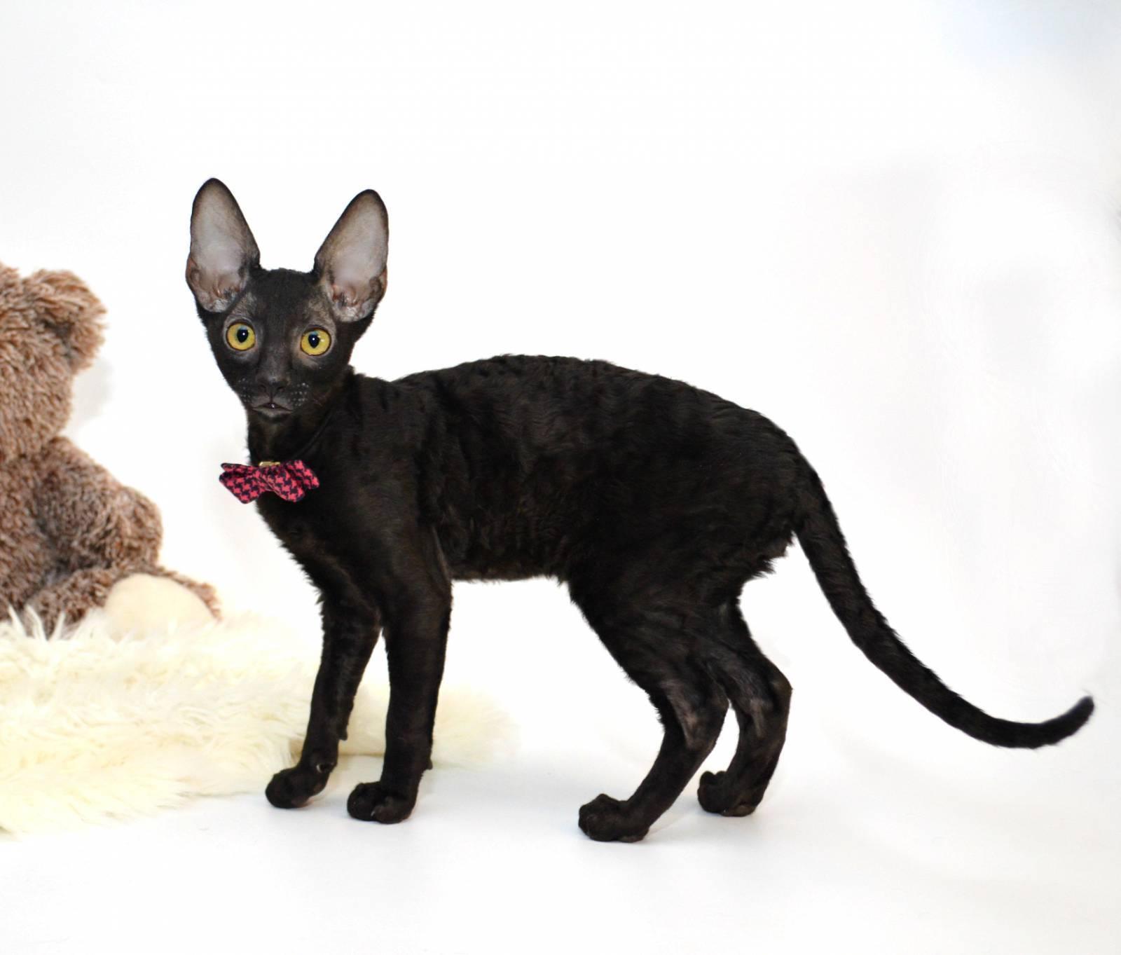 Корниш рекс: описание, фото, характеристика, уход, содержание, кормление породы кошек