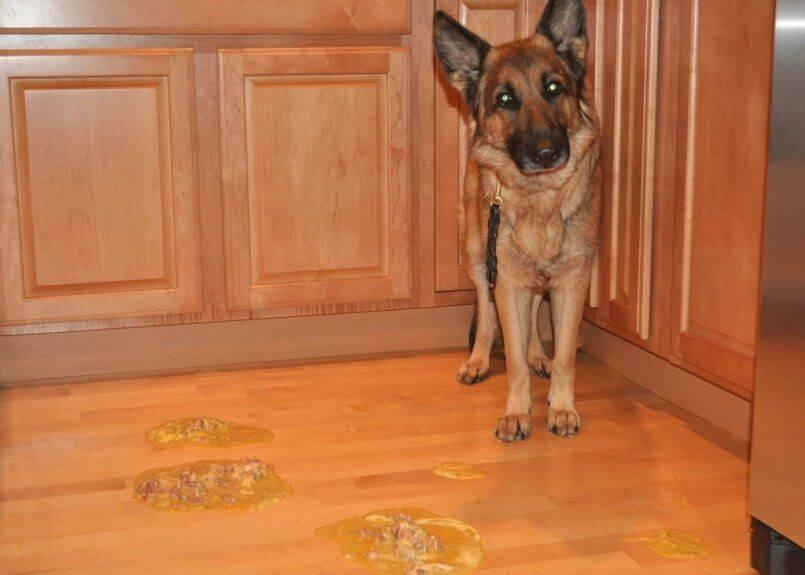 Без паники: что делать, если собака метит дома