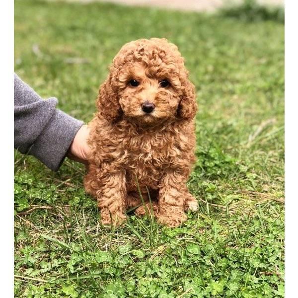 Той-пудели (50 фото): описание щенков красного, черного и другого окраса шерсти. плюсы и минусы породы. размеры собак. отзывы владельцев