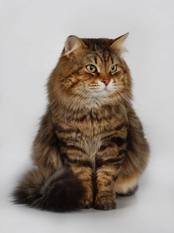 Сибирские кошки серого окраса: характеристика и особенности ухода