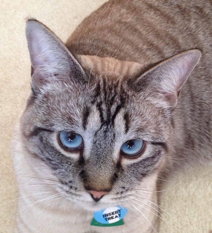 Азиатская табби: описание породы кошек, фото, цена