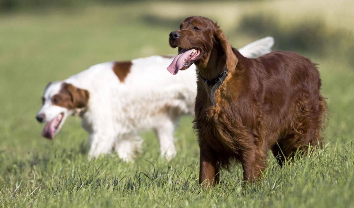 Топ-62 сторожевых пород собак