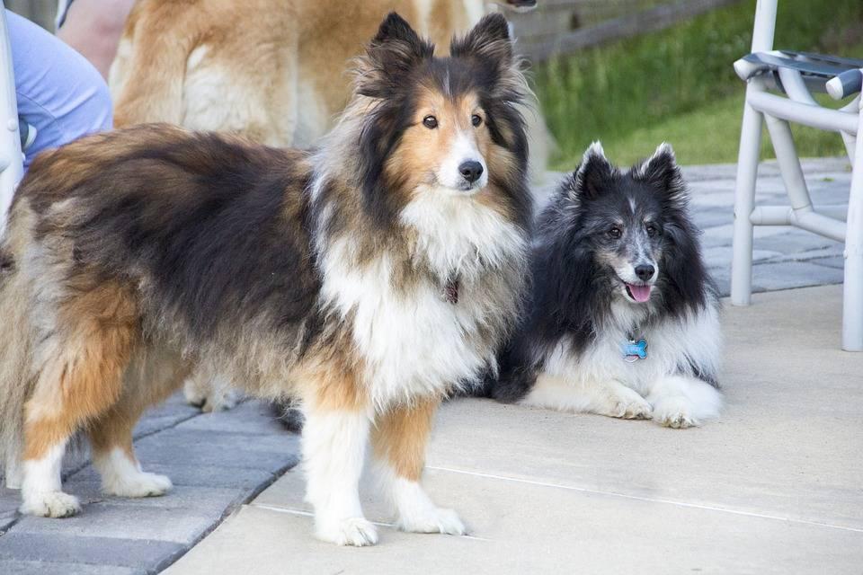 Колли собака. описание, особенности, уход и цена колли