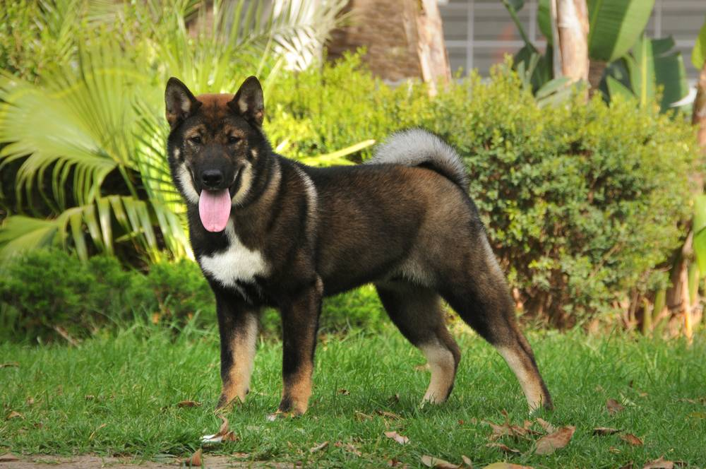 Происхождение, особенности ухода и содержания породы собак сикоку
