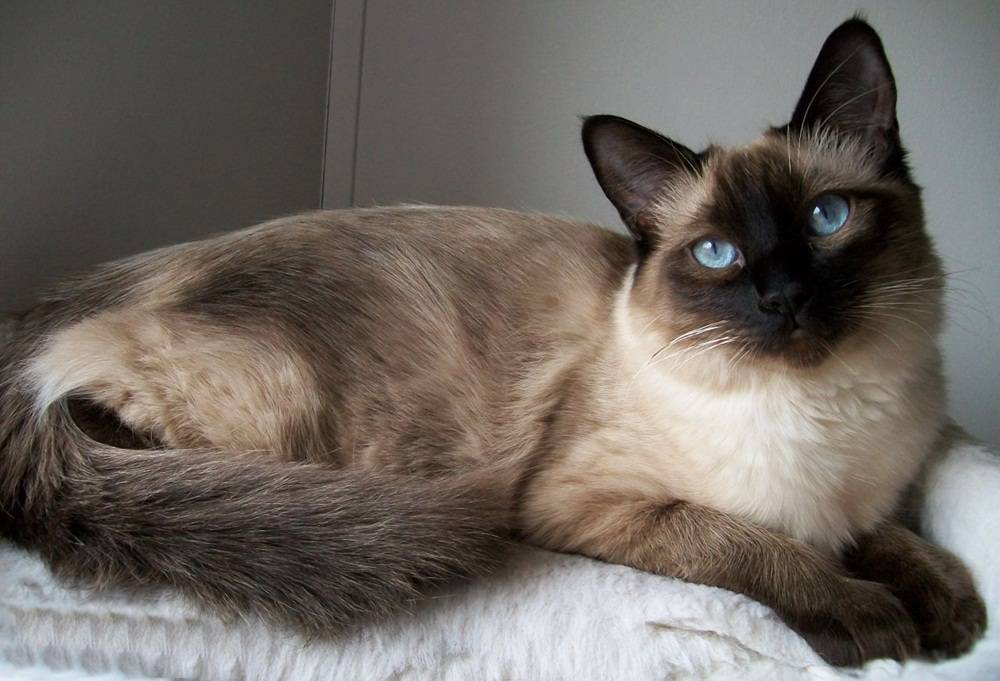 Балинезийская кошка: характер породы и особенности ухода, цена и отзывы, окрас балинезийской кошки
