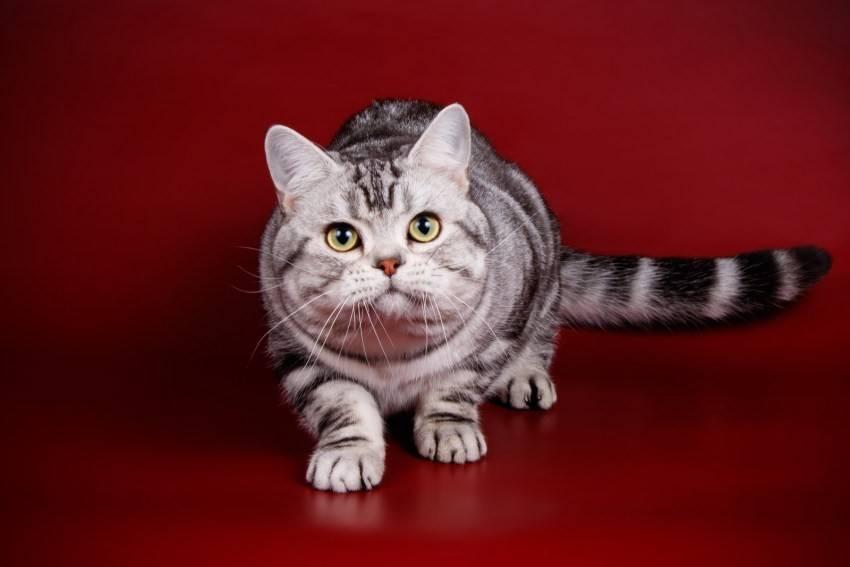 Американские короткошерстные кошки: фото и описание (характер, уход и кормление)