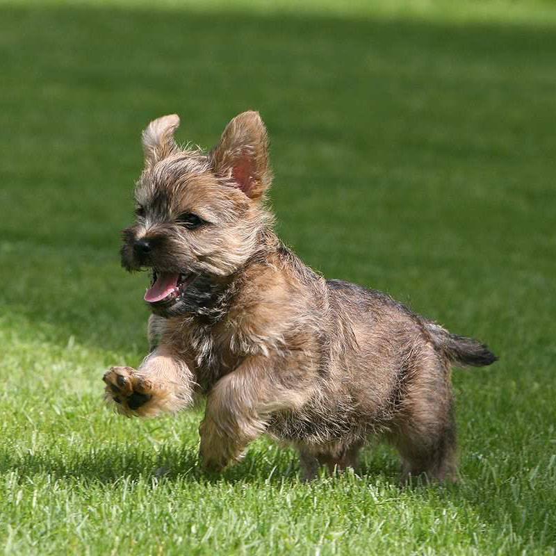 Керн терьер: описание породы, характер, фото и отзывы о собаке