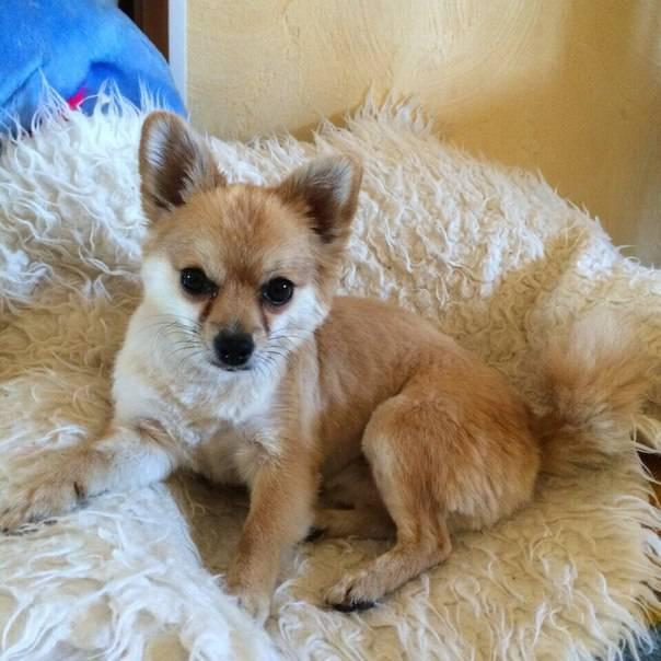 Чорки (метис йорка и чихуахуа): описание породы собак с фото и видео
