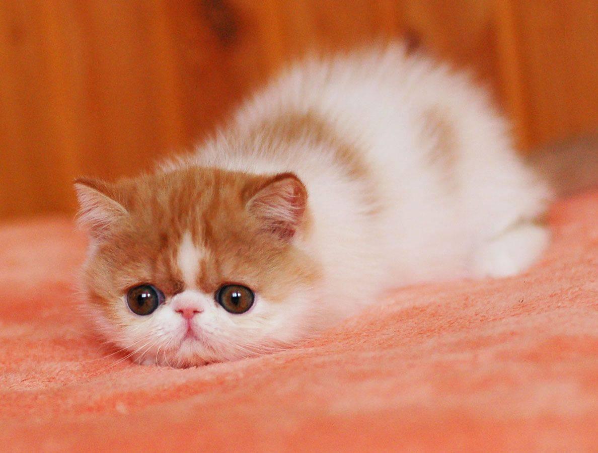 Самые милые кошки в мире: породы с фото