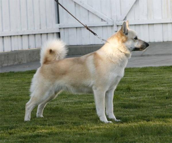Норвежский бухунд (норвежская лайка) — описание породы собак