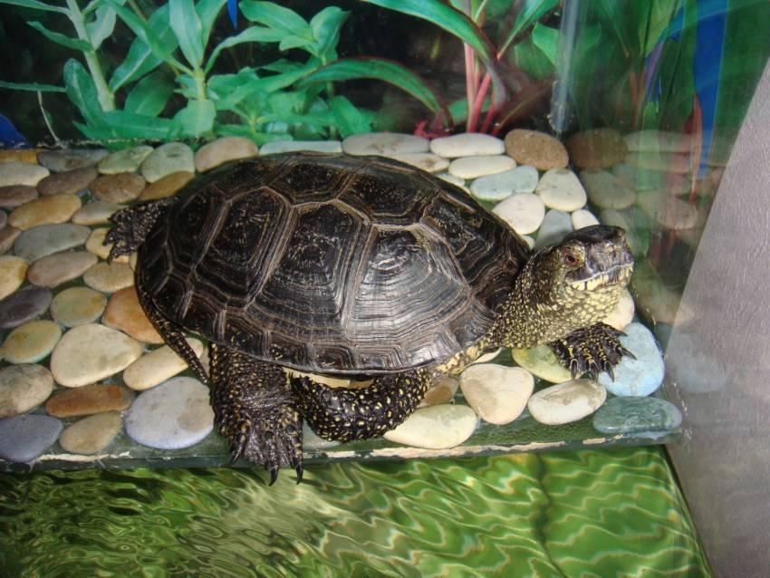Водная черепаха: сколько стоит, как часто чистить аквариум и образ жизни черепах (90 фото)