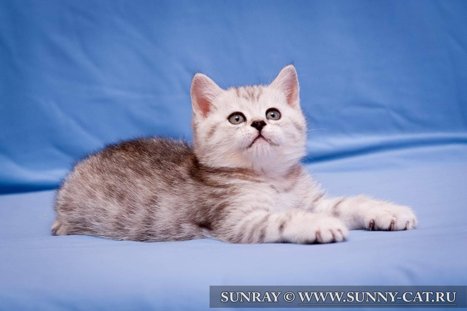 Британская короткошерстная кошка (53 фото): основные сведения о породе, описание внешности гладкошерстных котов. котята белого и черного, рыжего и другого окраса