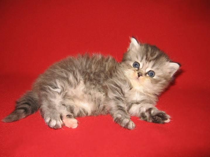 Хайленд страйт: шотландская прямоухая длинношерстная кошка