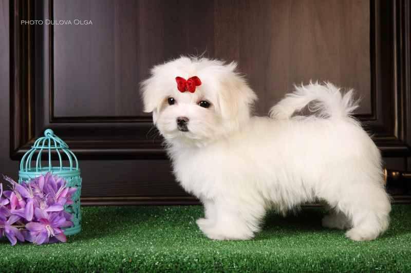Мальтипу — порода собак с фото и описанием
