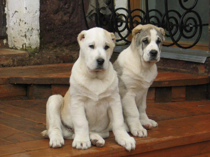 Алабай и другие породы собак: сравнение характера питомцев и чем отличаются