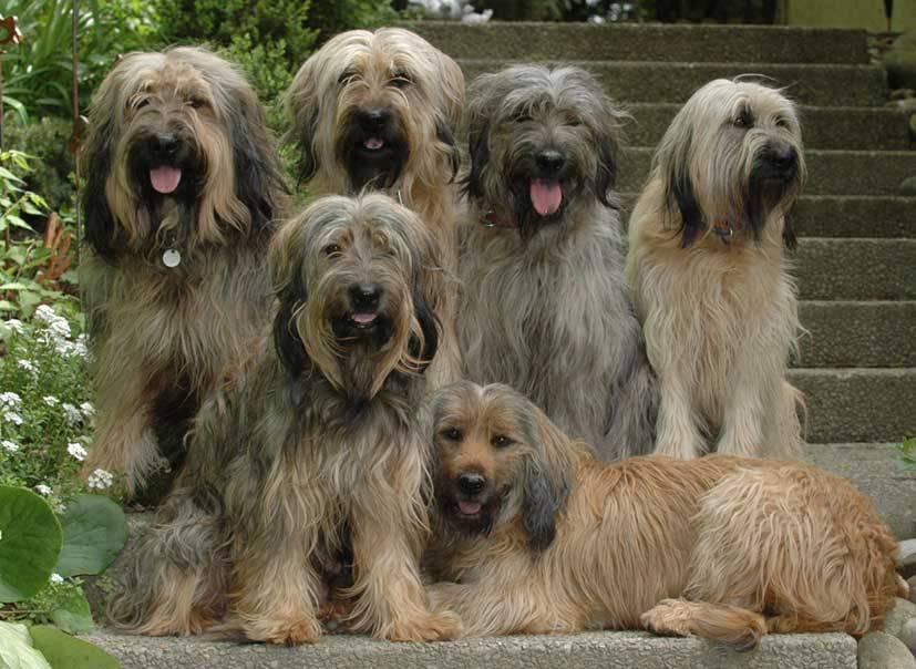 Пиренейская горная собака: описание и характеристика породы