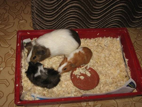 Морские свинки: кормление и уход в домашних условиях