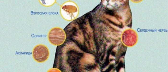 Как правильно профилактически обрабатывать собак и кошек от внутренних паразитов