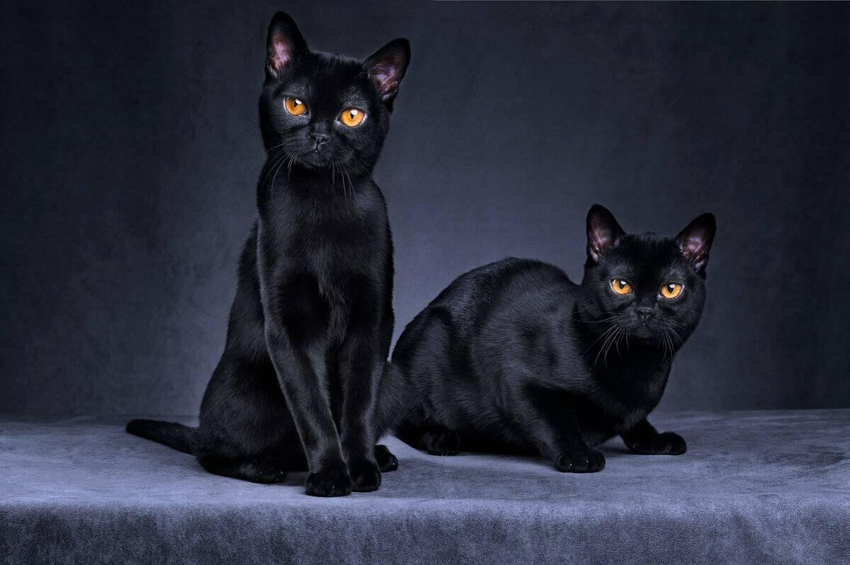 Бомбейская кошка: фото, цена, описание породы, характер, видео, питомники