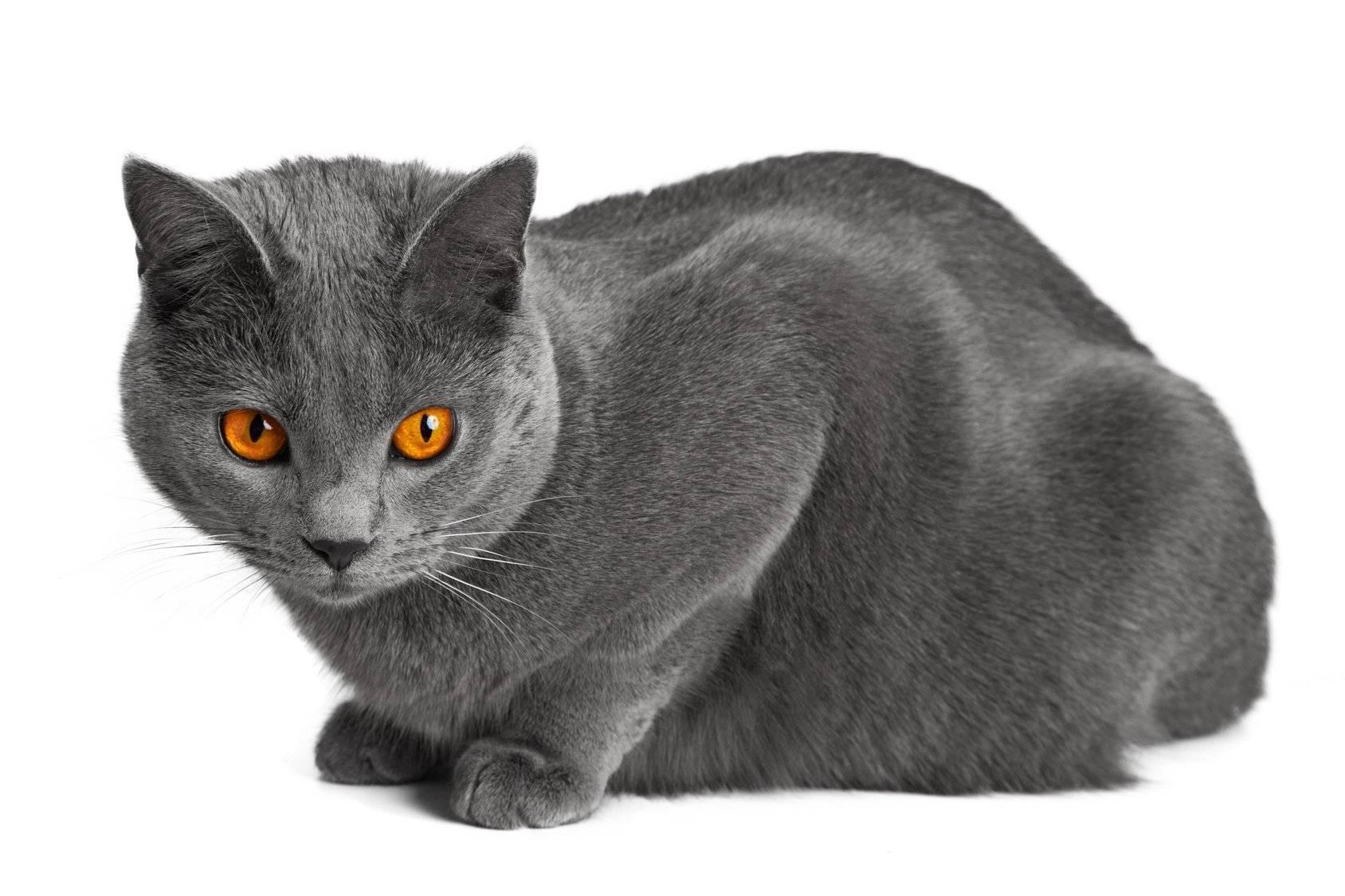 Картезианская кошка (шартрез): редкая красотка сулыбкой моны лизы