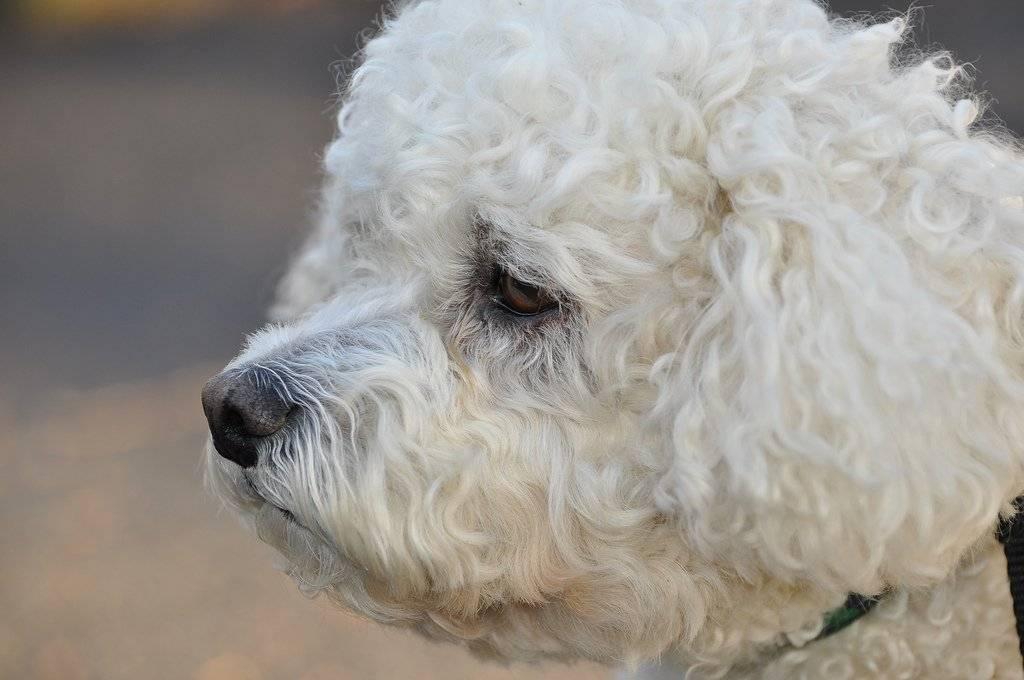 Собаки » породы » бишон фризе (бишон, французская болонка)