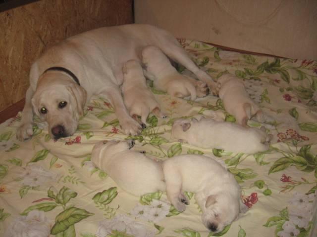 Как проходит течка у лабрадора: в каком возрасте начинается, сколько длится и на какой день лучше вязать собаку