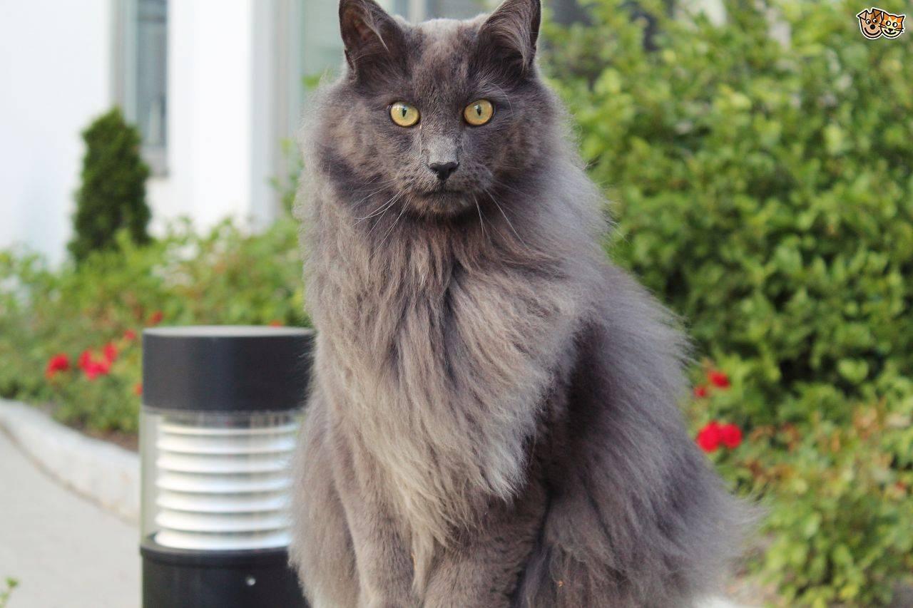 """""""песнь о нибелунгах"""" в мире кошек - кошки, породы кошек, кошки нибелунги, редкие породы кошек"""