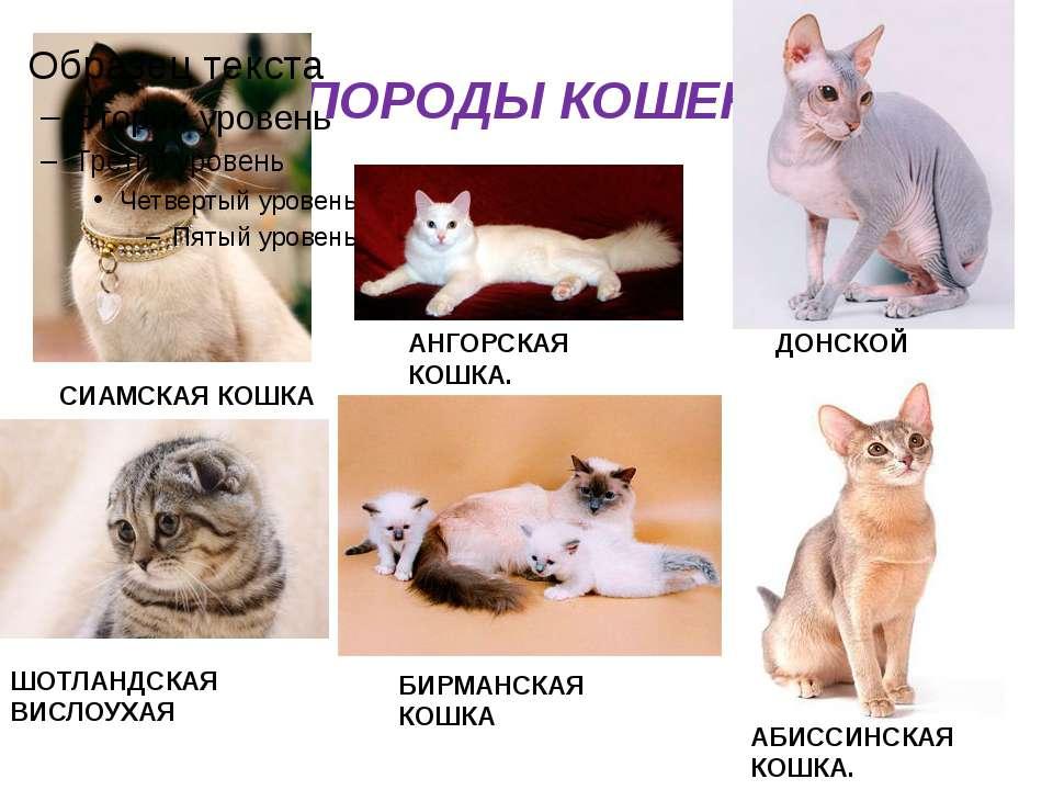 Самые редкие породы кошек и котов | фото с названиями