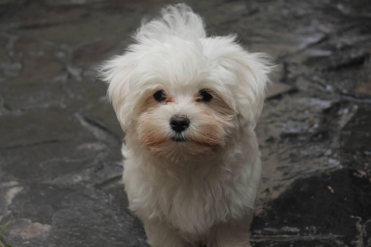 Плюсы и минусы породы мальтийская болонка: характеристика собак, описание их характера