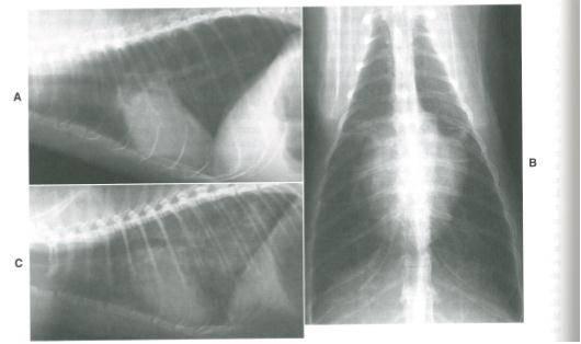Гипертрофическая кардиомиопатия у кошек - ситивет