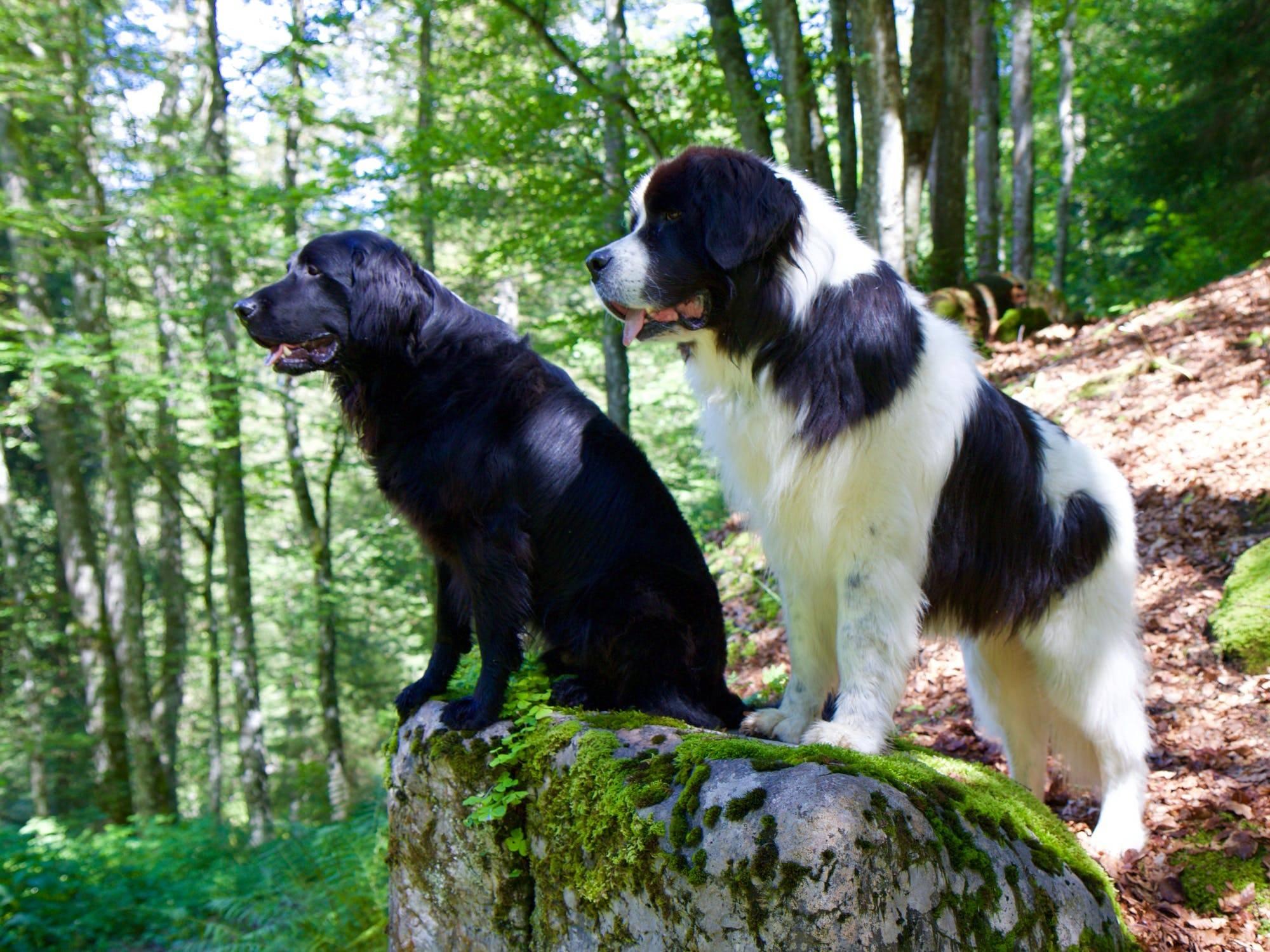 Ландсир фото и описание породы собак