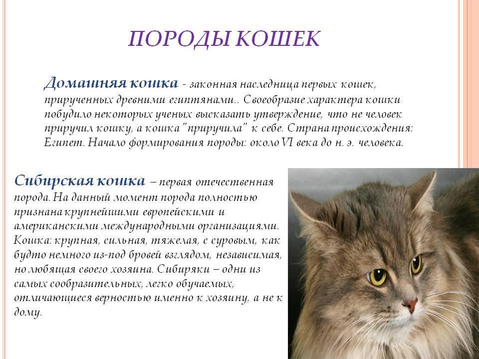 Кошки нибелунги: описание породы, характер, особенности ухода, история выведения