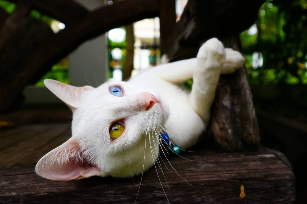 Порода кошек као-мани – бриллиант таиланда