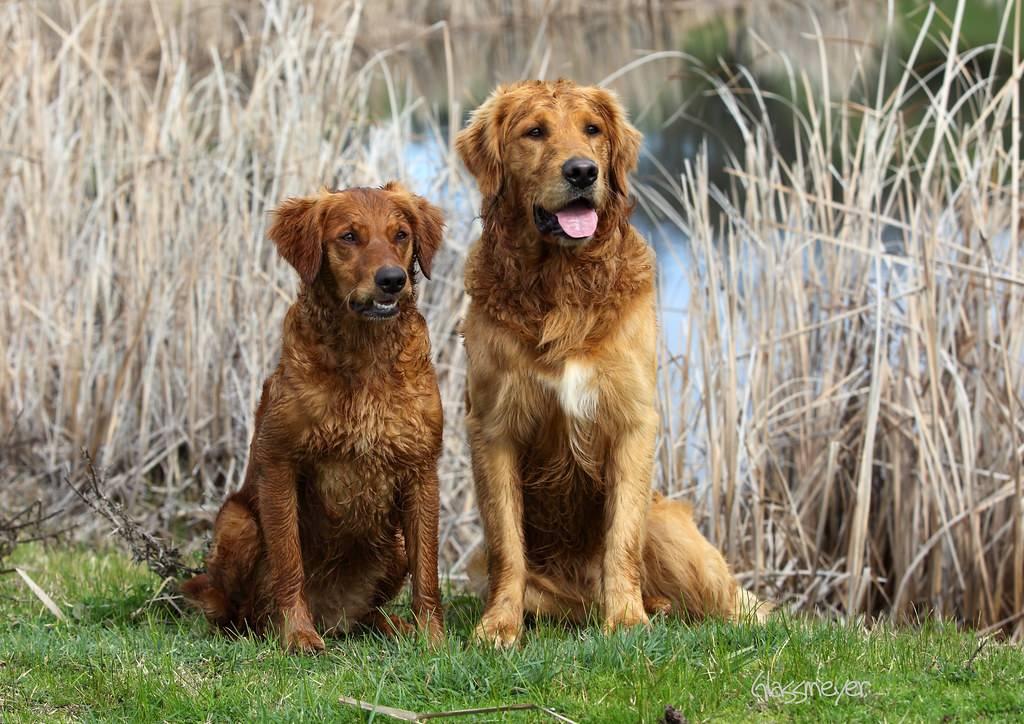 Семейная собака – золотистый (голден) ретривер
