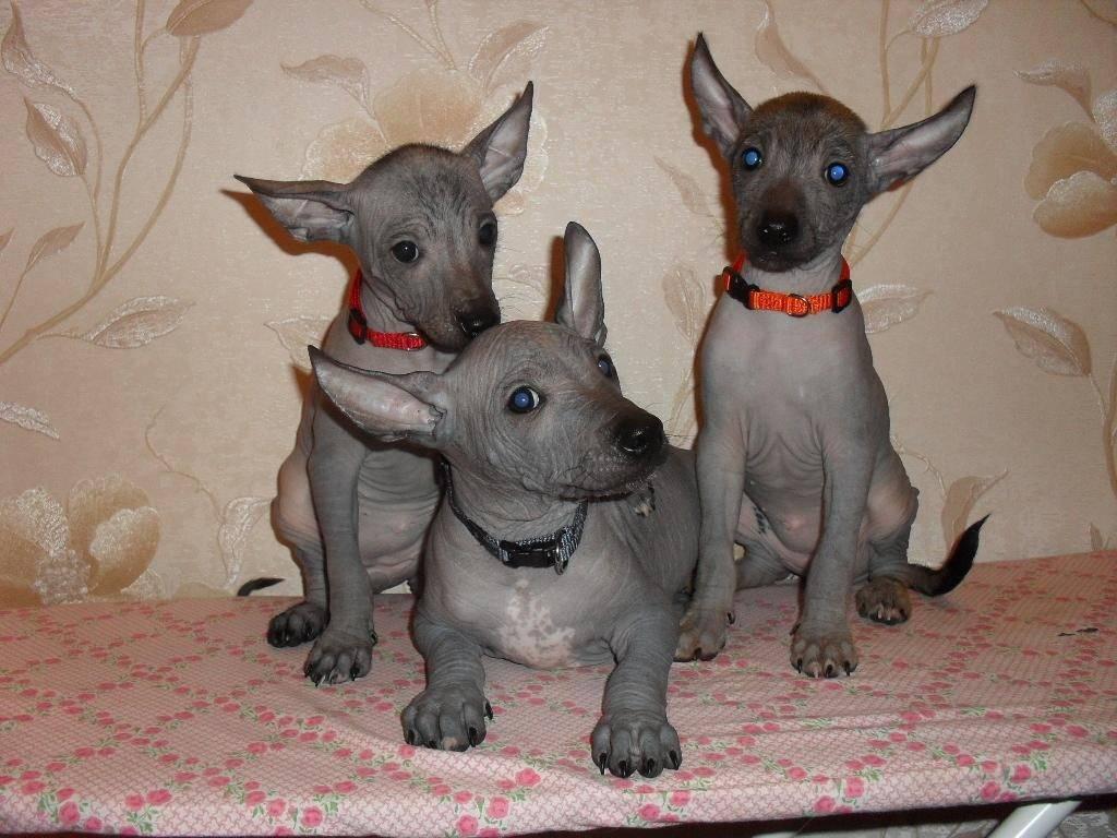 Лысая собака мексиканская: фото и описание ксолоитцкуинтли голой и в шерсти, характер и особенности
