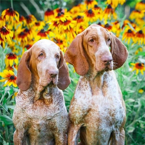 Итальянский брак: фото породы собак с описанием