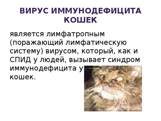 Вирусный иммунодефицит кошек - синдром приобретенного иммунодефицита у котов.