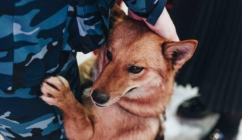 Шалайка (собака сулимова, шабака, квартерон): описание породы с фото