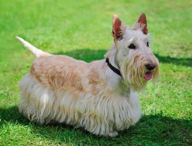 Собака с огромной силой духа и горячим сердцем: скотч-терьер (шотландский терьер)