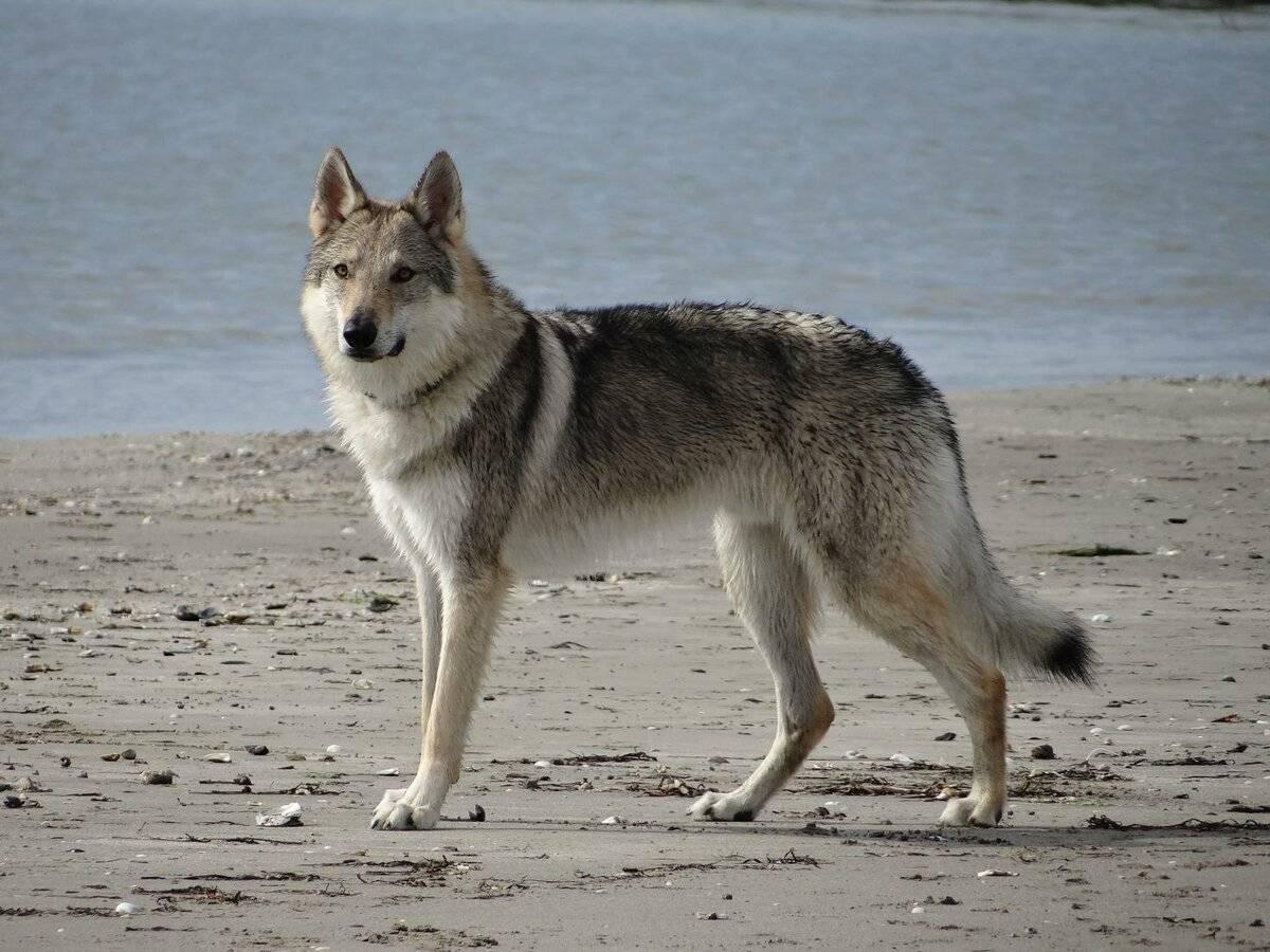 Описание породы собак волчья собака сарлоса (саарлусвольфдоґ) с отзывами владельцев и фото