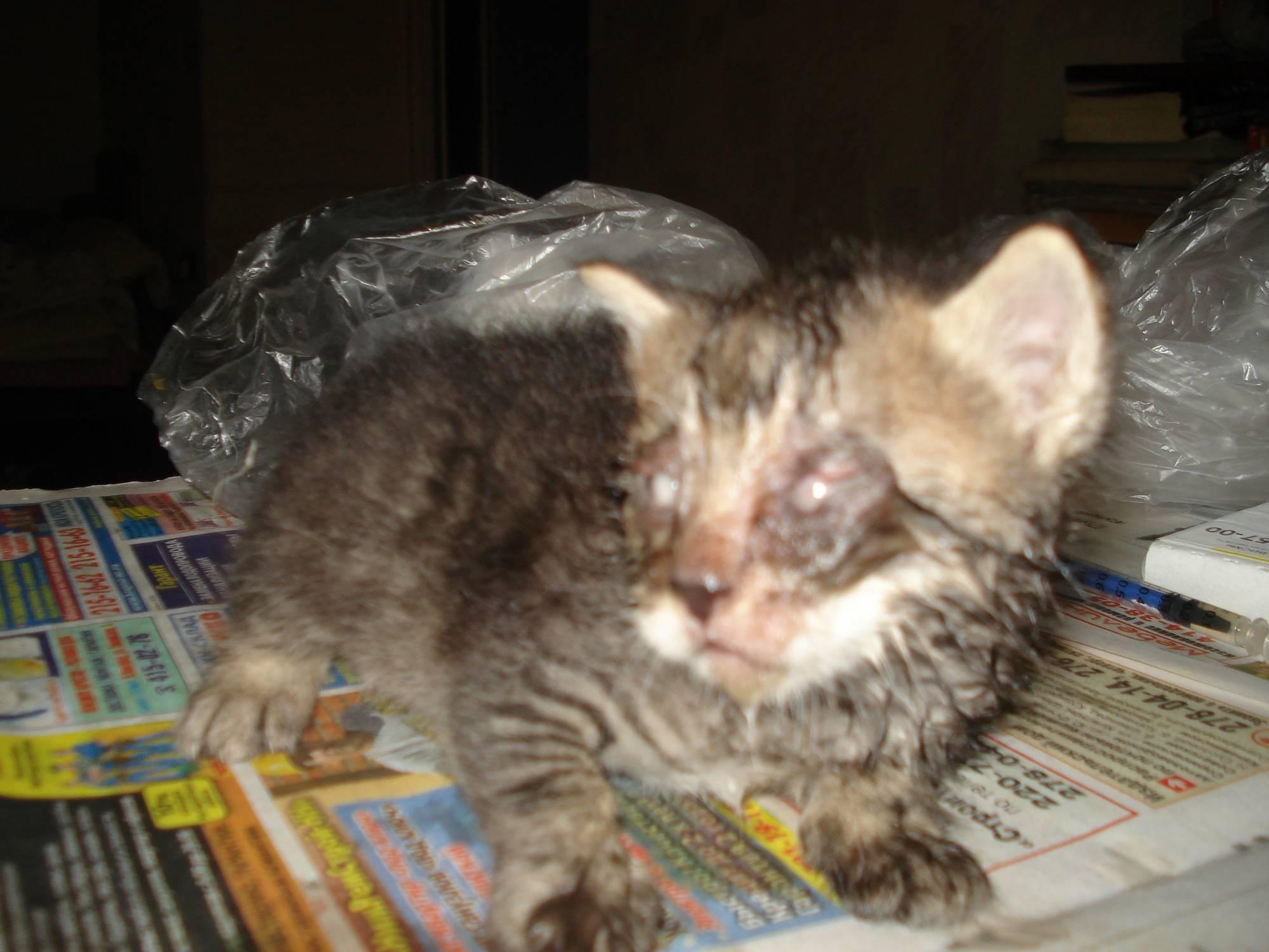 Чумка или панлейкопения у кошек