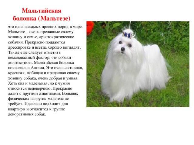Русская цветная болонка. описание, особенности, уход и цена русской цветной болонки