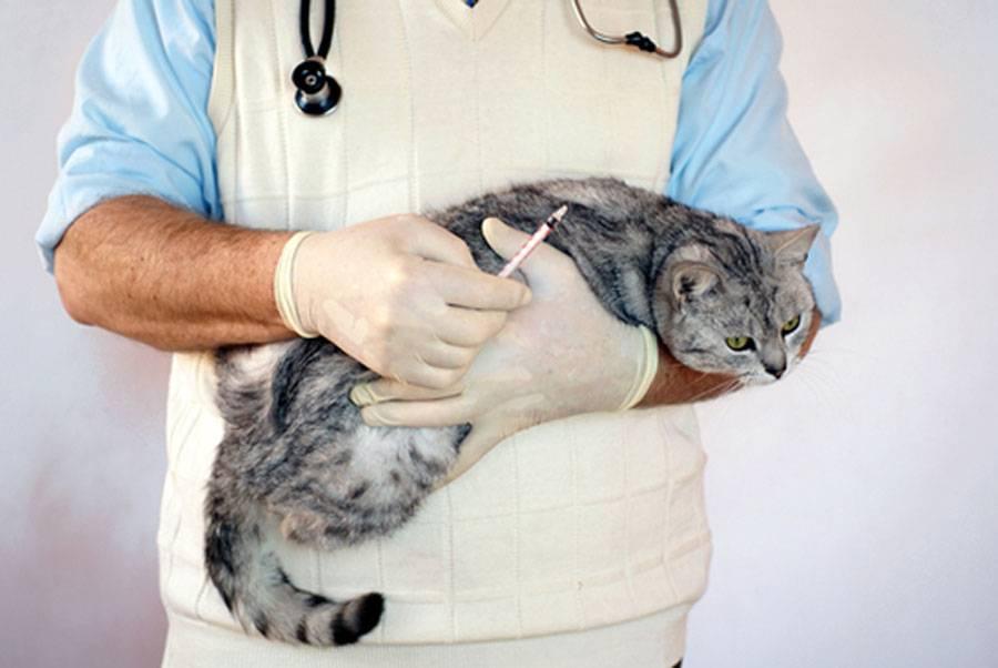 Амилоидоз печени у кошек
