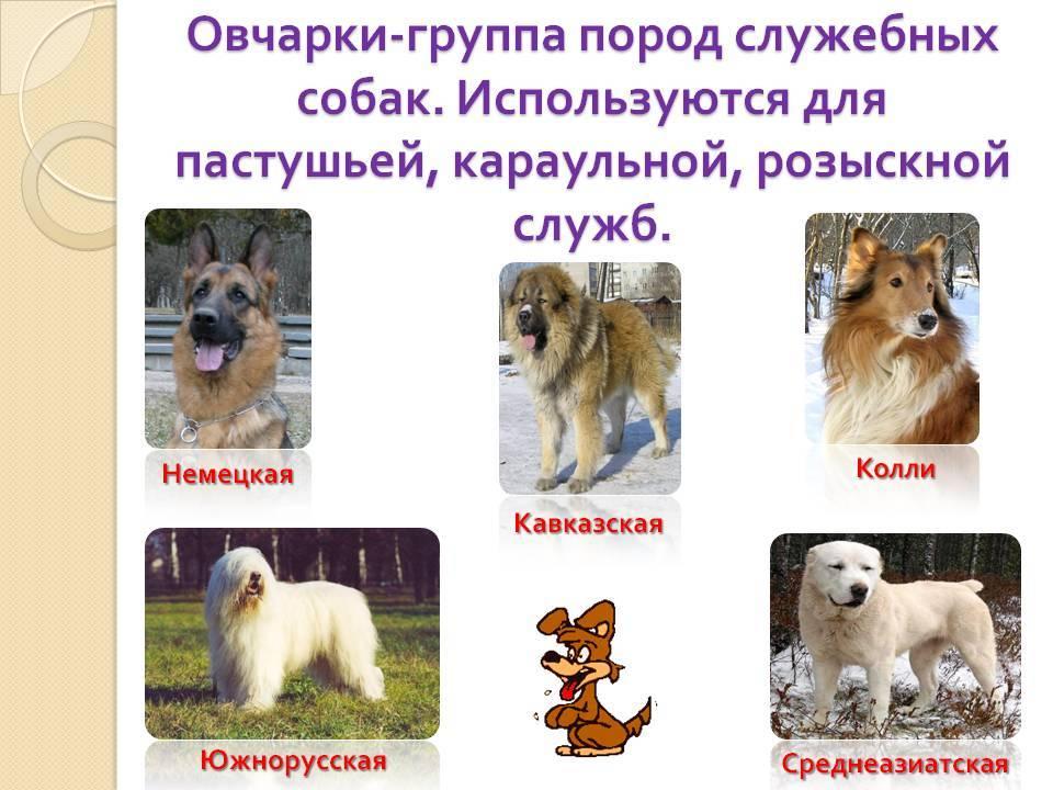 Лучшие служебные породы собак с фотографиями и названиями